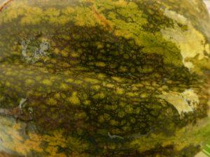 giraumon-ecorce