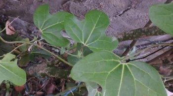 trefle-caraibe-aristolochia