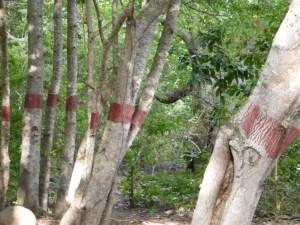 marque-rouge-tronc-mancenillier