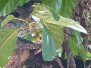 fruit-figuier-maudit-ficus