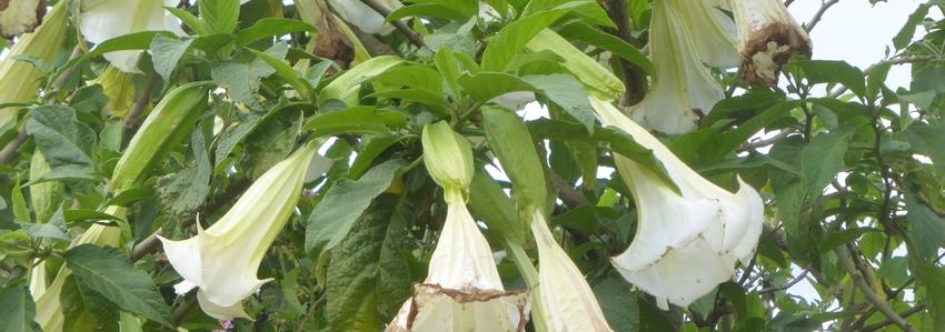 brugmansia-plante-entheogene