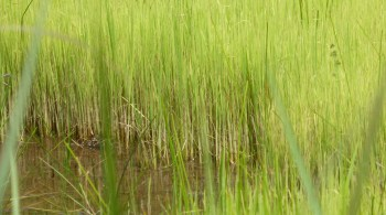 riz-oryza-sativa