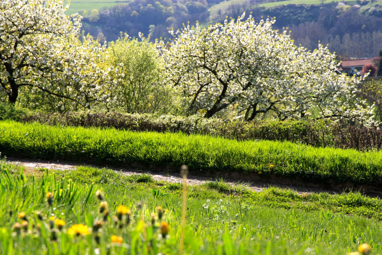 cerisiers-en-fleurs-la-source-doree.fr