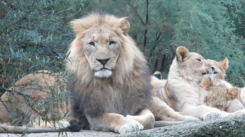 La famille lion du Zoo de Bâle