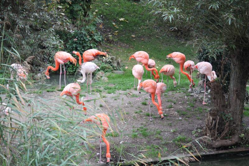 Les flamant rose mangent au zoo de Rapperswil