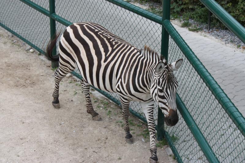 Zèbre du zoo de Rapperswil