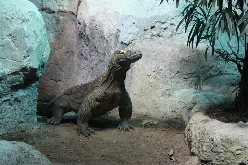 Un dragon de Komodo à Aquatis