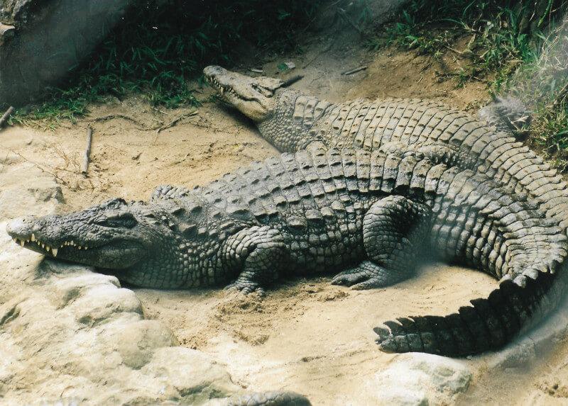 Les crocodiles du parc la Vanille