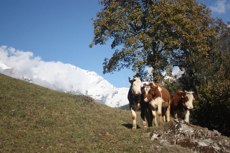 Paysage à Leukerbad avec des vaches