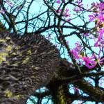 La Ceiba Pentandra es conocida como ceibo (en Ecuador), lupuna (en la Amazonía peruana), mapajo (en las tierras bajas de Bolivia), bonga o bongo (en el Caribe) o pochote (en México). En Guatemala fue declarada árbol nacional en 1955 por iniciativa del botánico guatemalteco Ulises Rojas, para honrar uno de los símbolos Mayas.