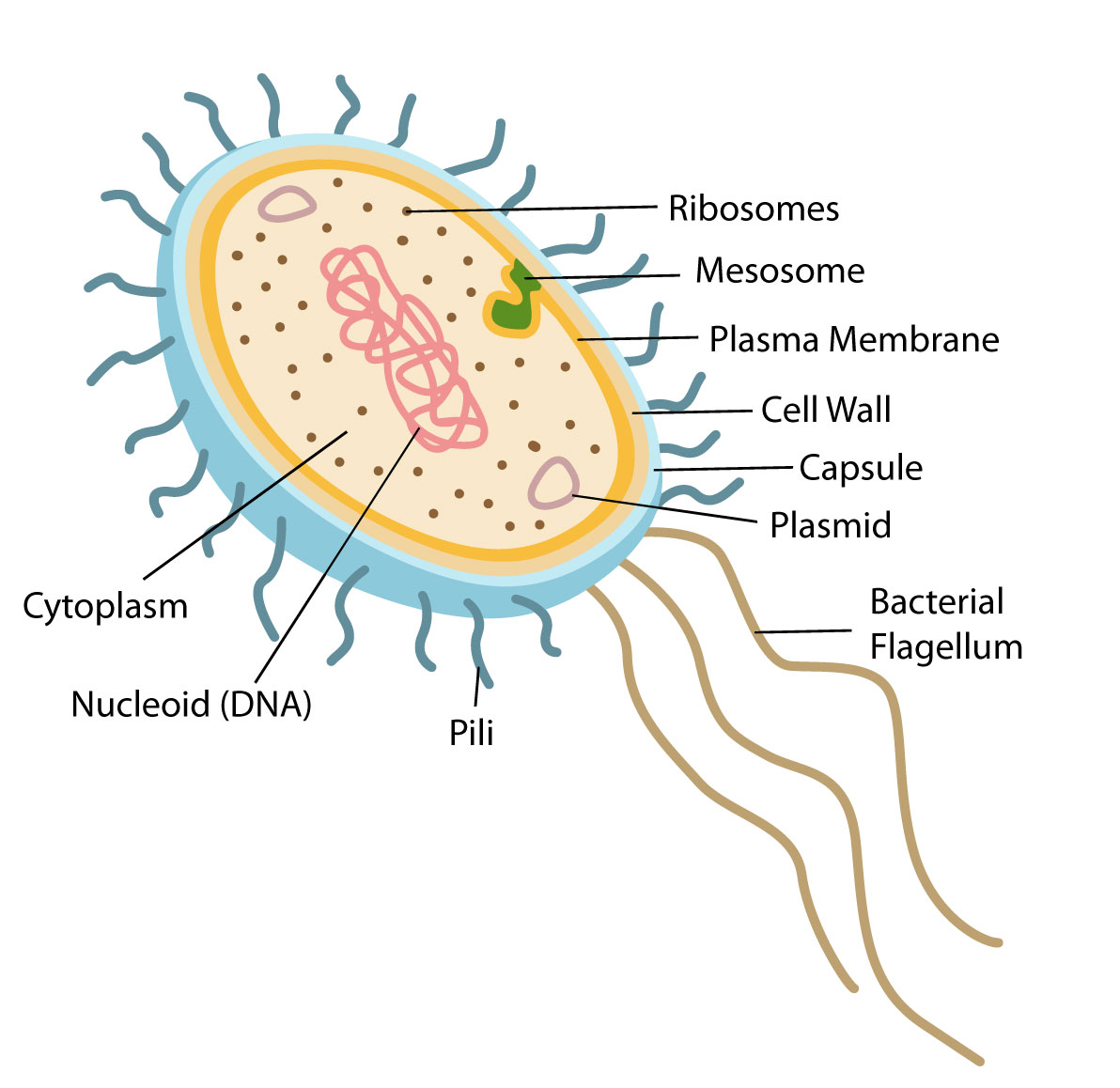 bacteria structure diagram field dressing a deer and function of prokaryotic cells