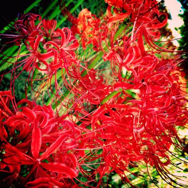 愛知県で彼岸花(ヒガンバナ)を撮影するスポット