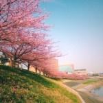 2015年 岡崎市竜美丘会館近くの河津桜は今週末が見頃!?