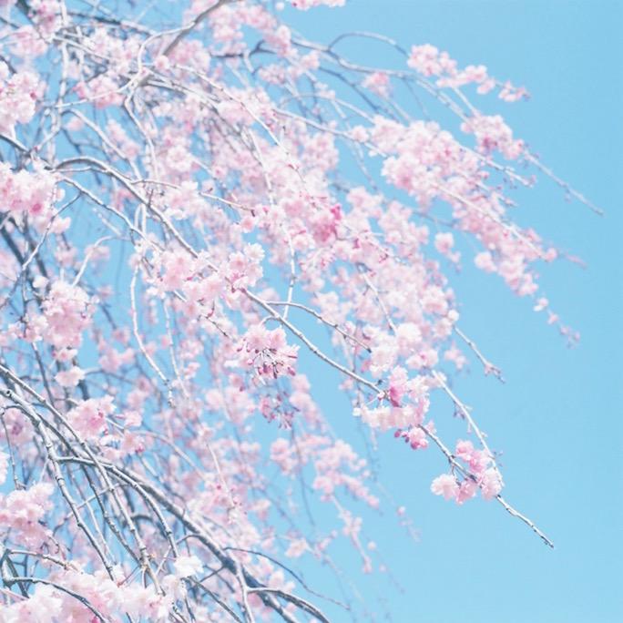 Hasselblad 500C/M 桜