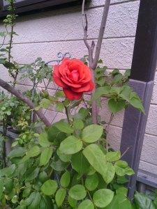 2013-06-15_garage-unknown-rose01