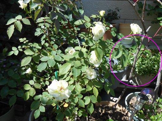 2014-05-16_Rosa-rubrifolia_03