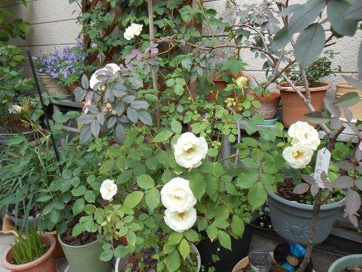 2014-05-16_Rosa-rubrifolia_04