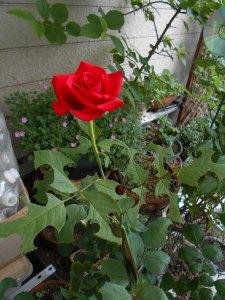 2014-06-19-hakiri-rose01