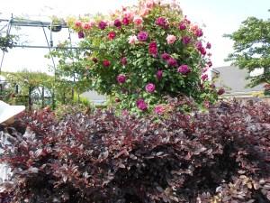 yokohama-english-garden-red-leaf