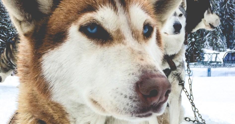Sortie chiens de traineau-4
