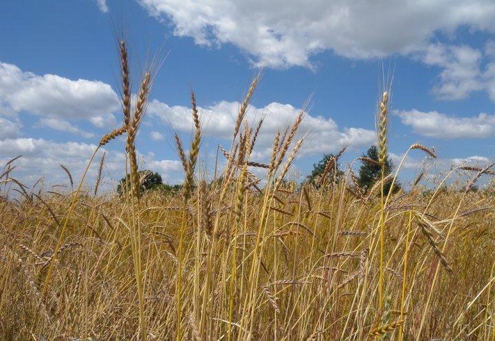 Une variété de blé révolutionnaire...