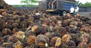 Plantación de palma aceitera en Honduras.