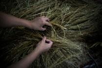 El arroz fue el cultivo con el que los habitantes de Coloso mantenían sus familias. La guerra les quitó sus tierras y muchas cosechas se perdieron. Poco a poco y gracias al cese bilateral del fuego, las familias vuelven a ver la agricultura como una forma de salir adelante.