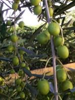 nasze oliwki