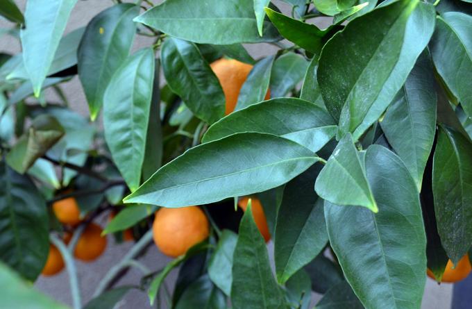 Blood Orange Tree   labellasorella.com