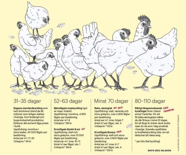 Franska_kycklingar_Hunger