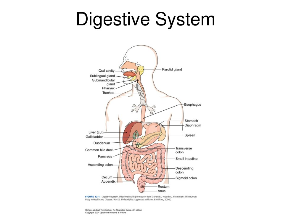 medium resolution of a labeled diagram of the digestive system