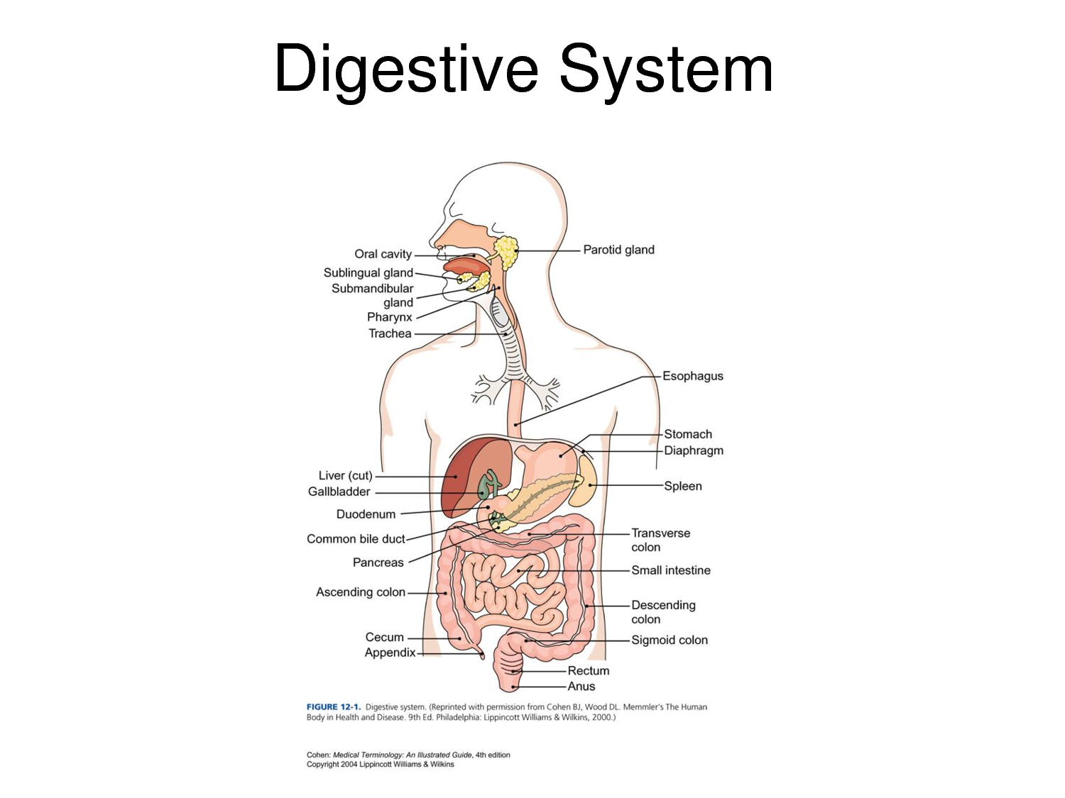hight resolution of a labeled diagram of the digestive system