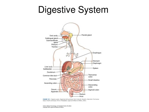 small resolution of a labeled diagram of the digestive system