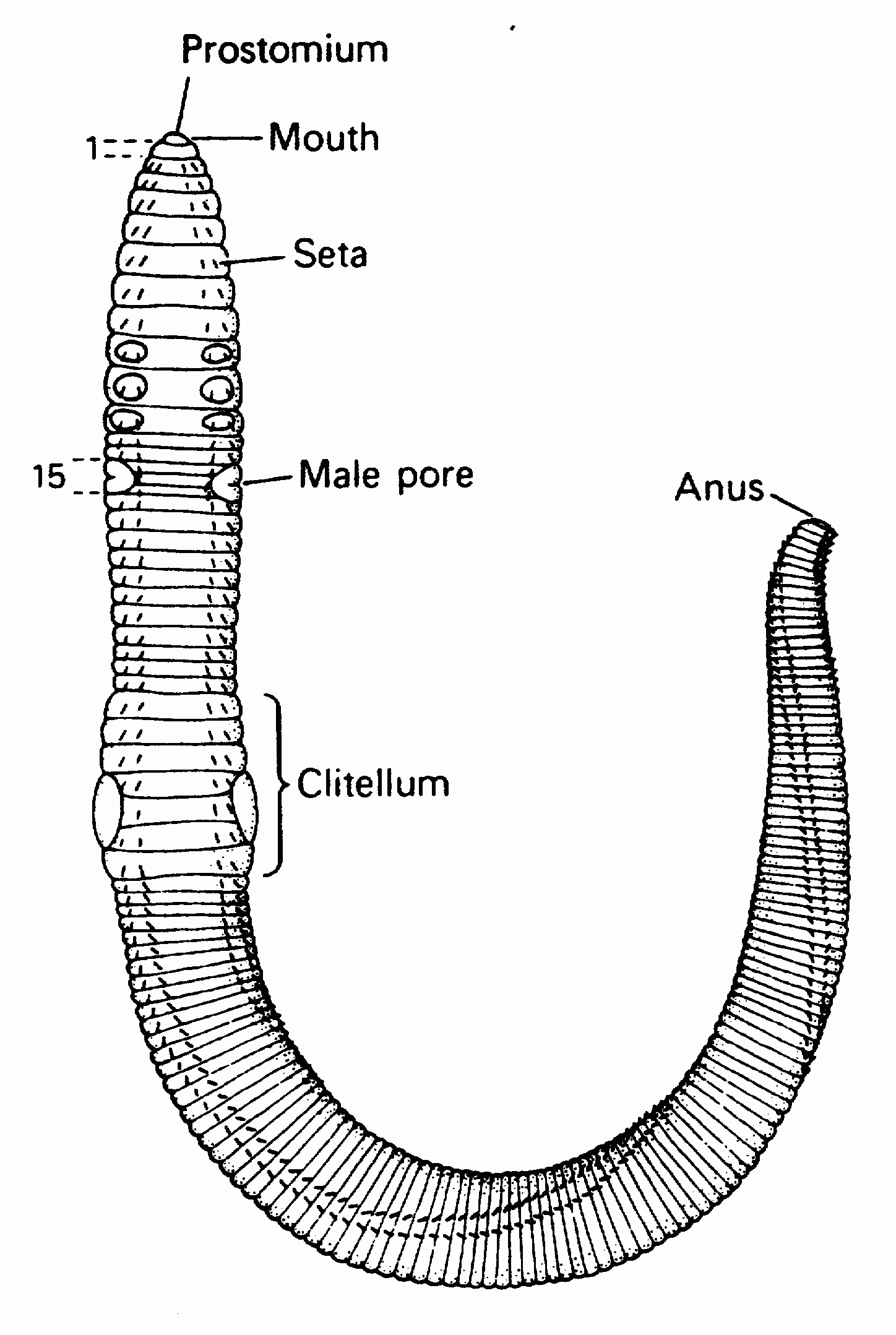 Diagram Of Tapeworm And Label