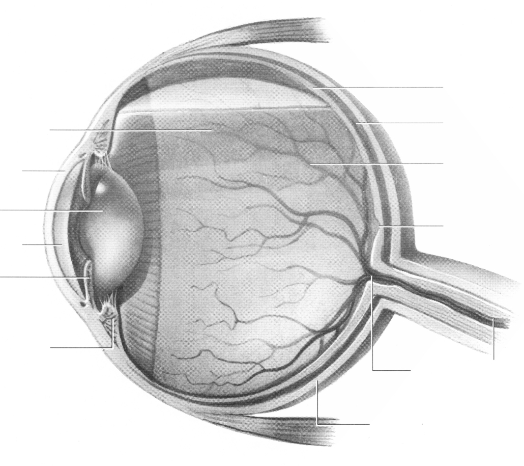 hight resolution of diagram of the human eye without labels