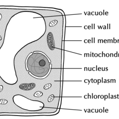 Plant Cell Diagram Animal Simple Drawing Freightliner Fld120 Wiring Diagrams Labelled Of A Typical