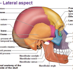 Human Skull Bones Diagram Labeled 1992 Dodge Dakota Radio Wiring Frontal Anatomy Bone Sphenoid