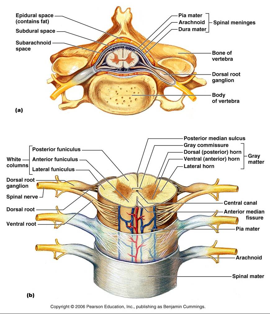 medium resolution of spinal cord diagram labeled label diagram of spinal cord spinal nerve diagram labeled human spinal cord diagram labeled 1 made by creative label