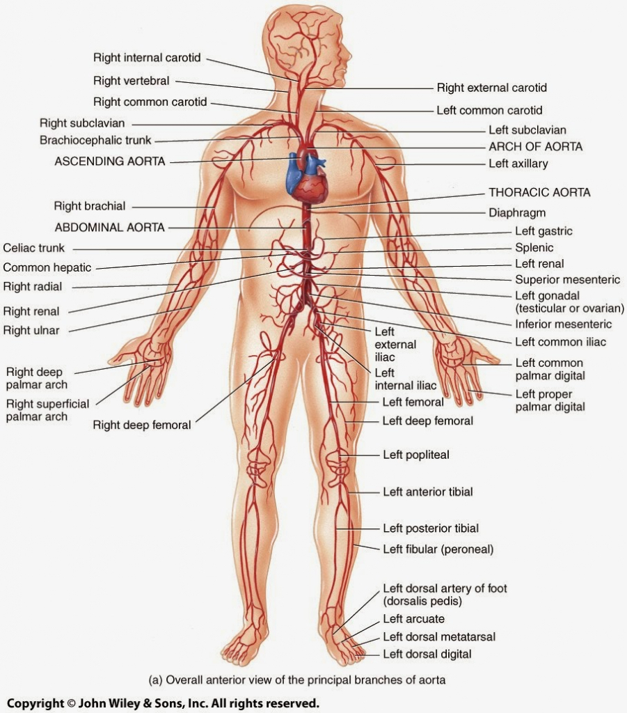 human vascular anatomy diagram gooseneck trailer wiring arteries labeled of artery