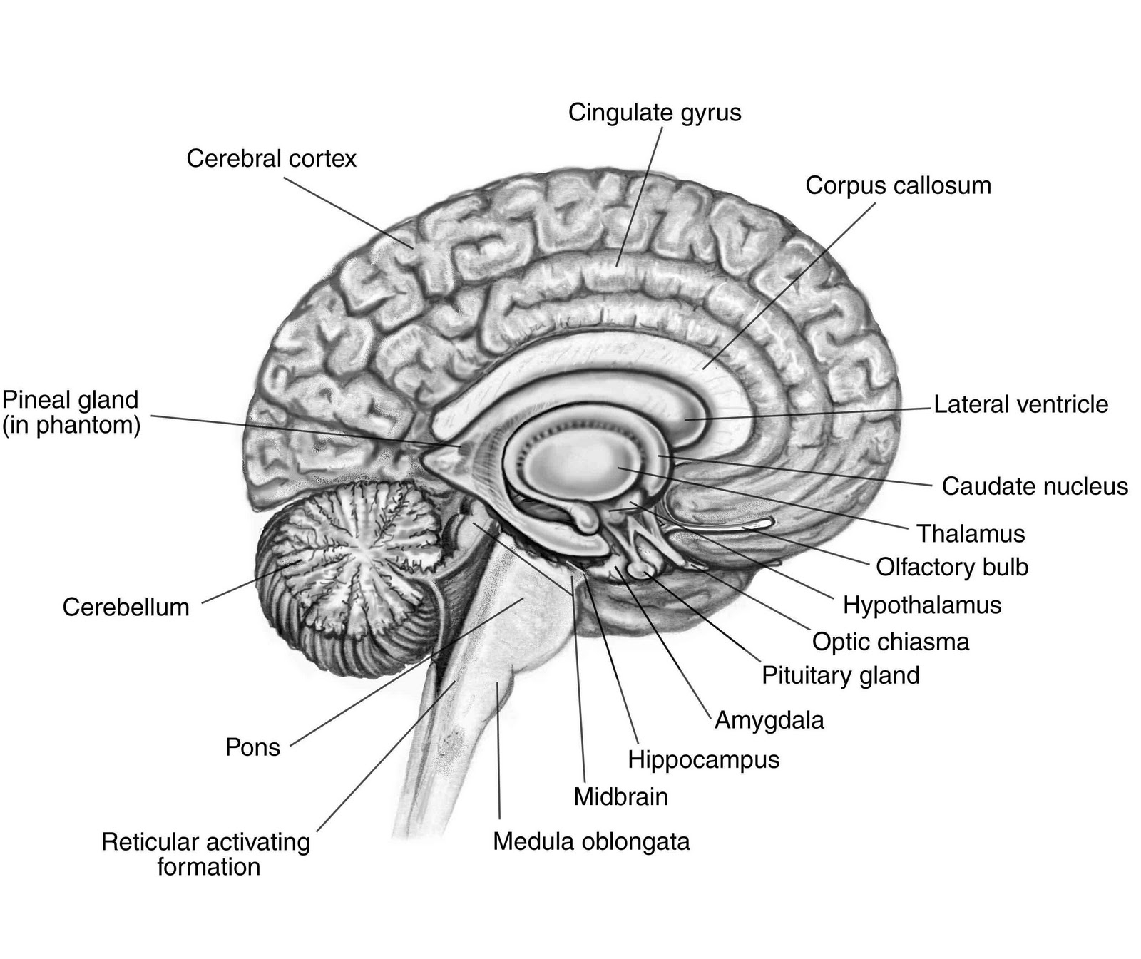 brain diagram without labels home theater systems speaker wiring human