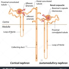 Kidney Nephron Structure Diagram Est Smoke Detector Wiring Of Tubules Best Library Labeled Fresh