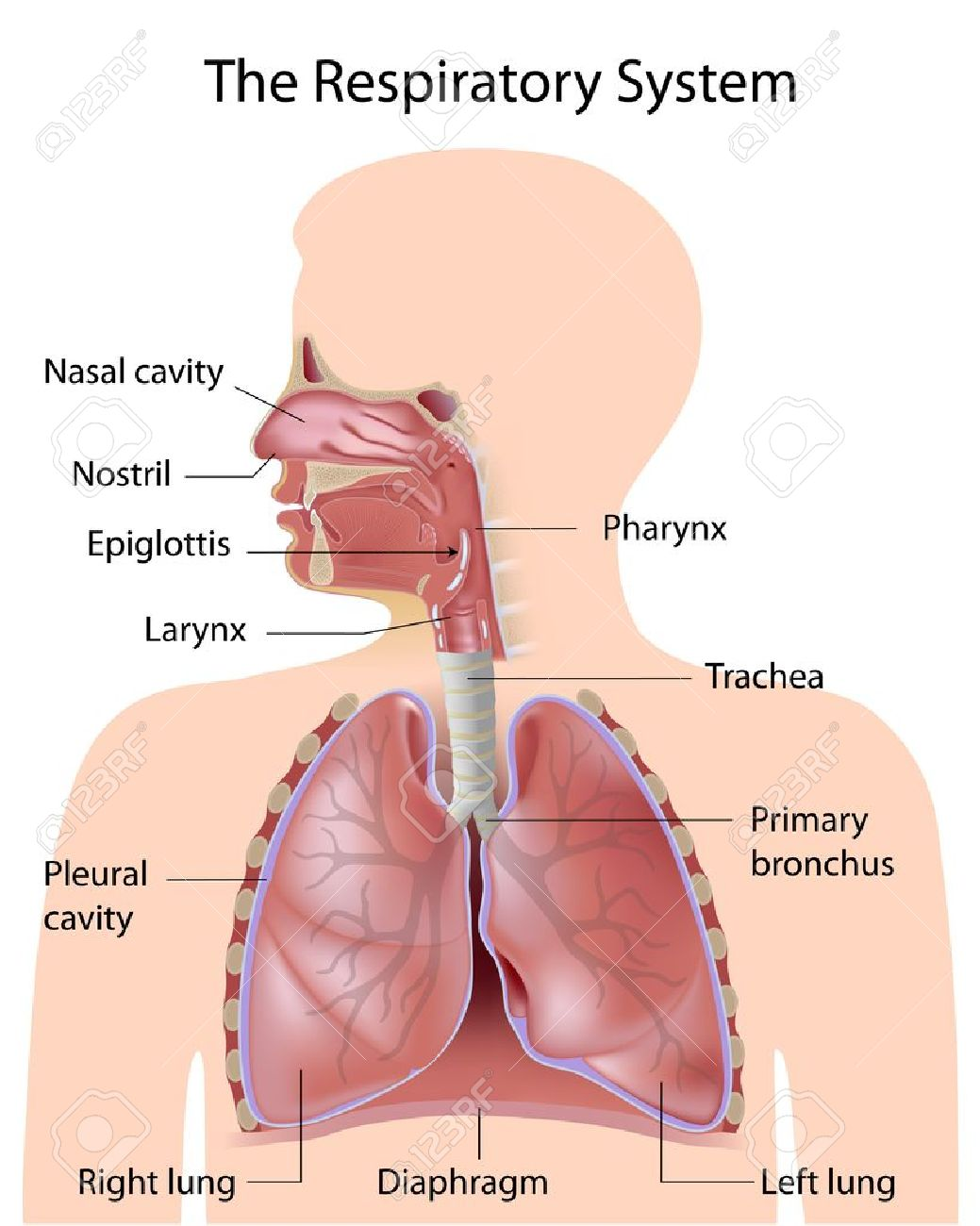Upper Respiratory Tract Labeled