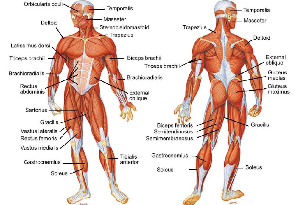 human muscles diagram labeled front and back 2005 nissan altima belt muscle anatomy of in body i on main the