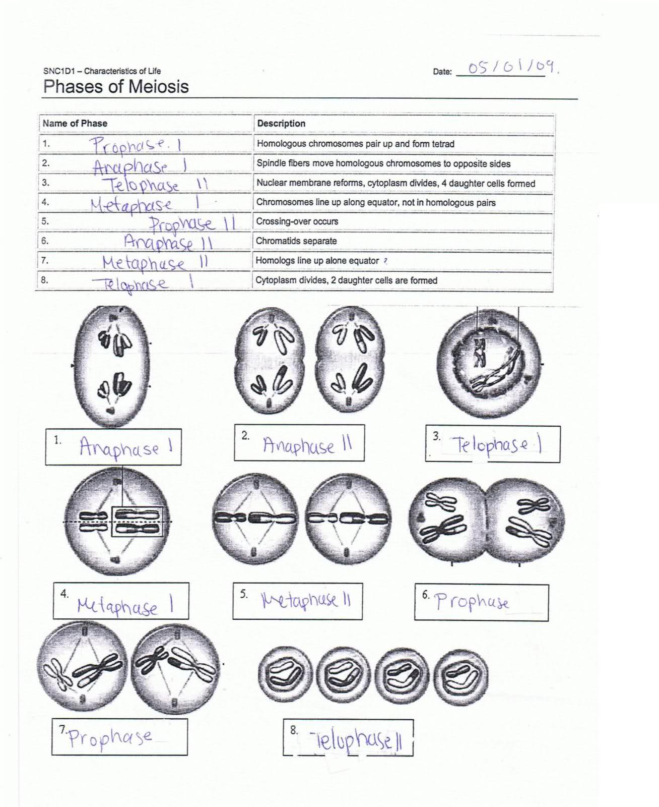 Label The Phases Of Meiosis Answers Meiosis Labels