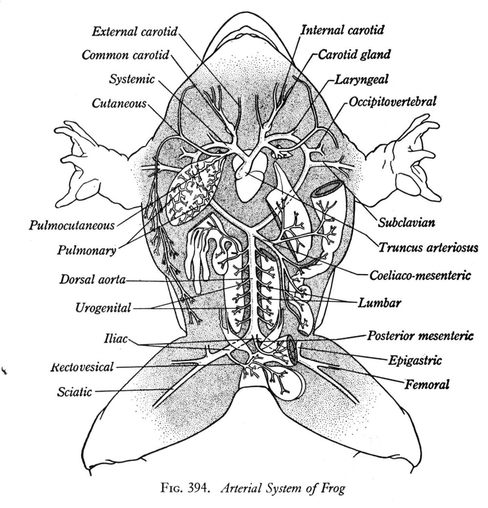 medium resolution of labeled picture of a frog frog dissection diagram labeled digestive system similiar frog body parts diagram keywords