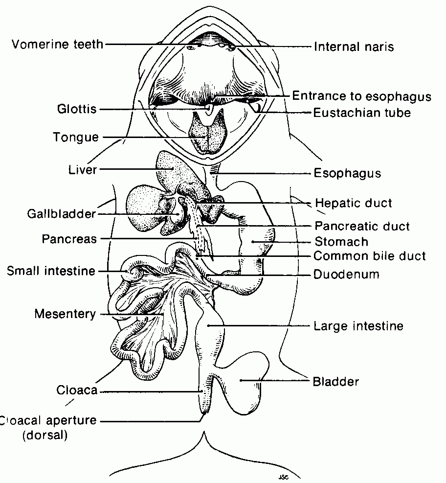 frog head diagram labeled c5 corvette power seat wiring picture of a dissection digestive