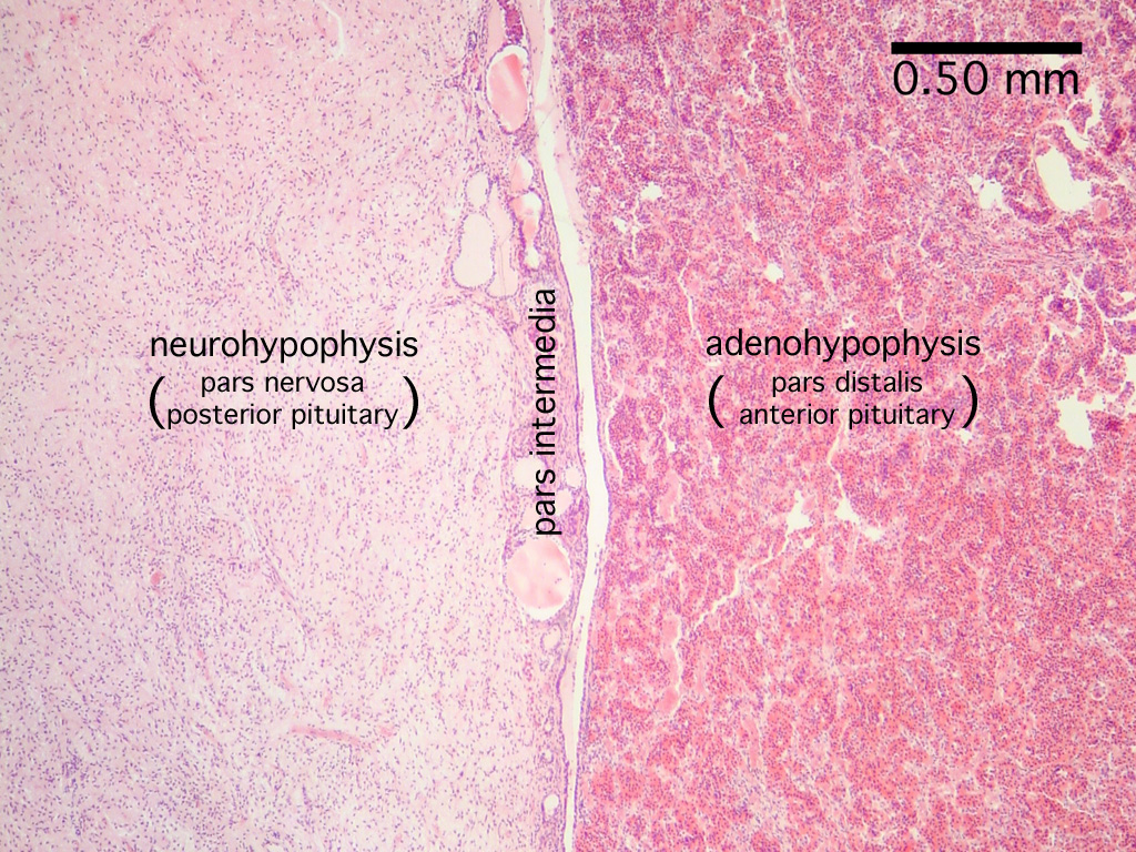 Labeled Pituitary Gland Slide