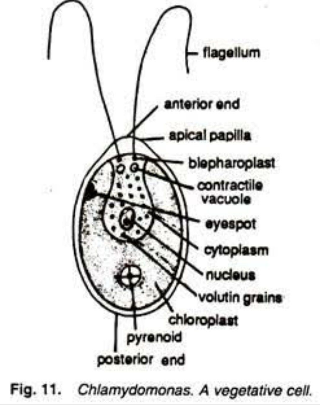 Labelled Diagram Of Chlamydomonas