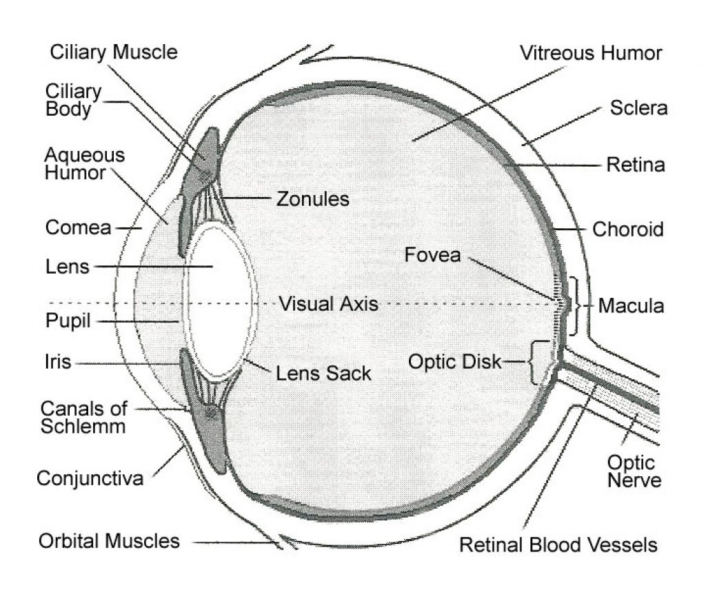 hight resolution of labelled eye