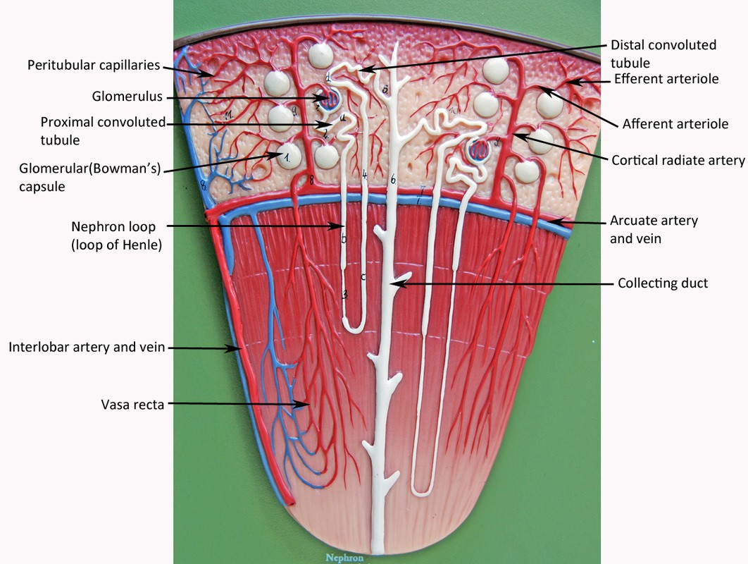 Nephron Model Labeled Urinary Renal Tubules Colored Label